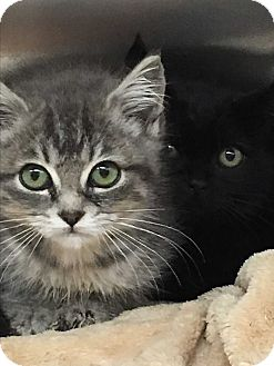 Polydactyl/Hemingway Kitten for adoption in Duncan, British Columbia - Tink,  Violet, Piper