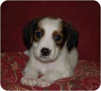 Spaniel (Unknown Type)/Labrador Retriever Mix Puppy for adoption in Chula Vista, California - Patches