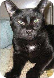 Domestic Shorthair Kitten for adoption in Schertz, Texas - Tiny