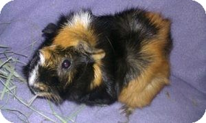 Guinea Pig for adoption in Fullerton, California - Betsy