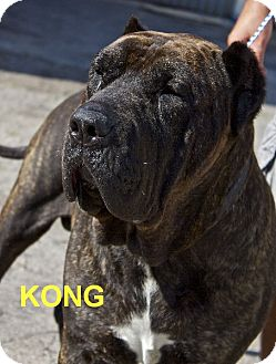 Presa Canario Dog for adoption in Oswego, Illinois - KONG and KANJA