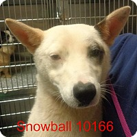 Adopt A Pet :: Snowball - baltimore, MD