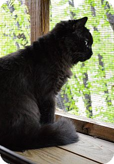 Domestic Mediumhair Cat for adoption in St. Charles, Missouri - Hocus Pocus