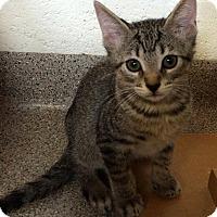 Adopt A Pet :: Puddin Tain - Sarasota, FL
