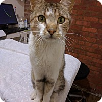 Domestic Shorthair Cat for adoption in Brooklyn, New York - Gus