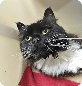 Domestic Longhair Cat for adoption in Salisbury, Massachusetts - Tina