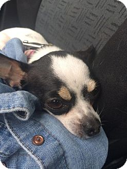 Chihuahua Dog for adoption in Vancouver, British Columbia - Gina