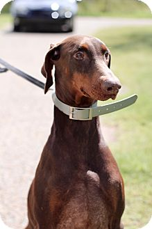 Doberman Pinscher Mix Dog for adoption in McAllen, Texas - Scarlett