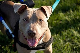 Pit Bull Terrier/Terrier (Unknown Type, Medium) Mix Dog for adoption in St. Louis, Missouri - Connor