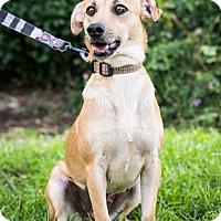 Adopt A Pet :: Dulce - San Diego, CA