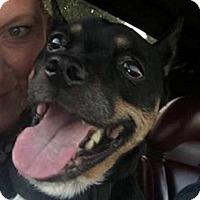 Adopt A Pet :: Gizmo - Bucks County, PA
