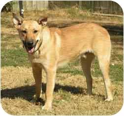Labrador Retriever/Shepherd (Unknown Type) Mix Dog for adoption in Centerton, Arkansas - Lester