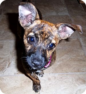 german shepherd chihuahua mix gretel adopted puppy lake elsinore ca chihuahua 9748