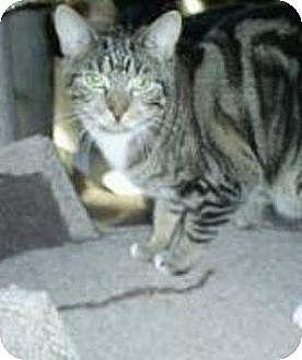 Domestic Shorthair Cat for adoption in Huntington, New York - Susan