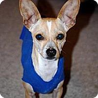 Adopt A Pet :: Stitch - Colorado Springs, CO