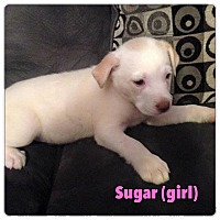 Adopt A Pet :: Sugar - North Olmsted, OH