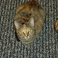 Domestic Shorthair Cat for adoption in Barnwell, South Carolina - Basil