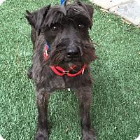 Adopt A Pet :: Tracey - Redondo Beach, CA