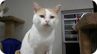 Domestic Shorthair Cat for adoption in Owenboro, Kentucky - WINSTON!