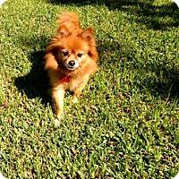 Pomeranian Dog for adoption in Dallas, Texas - Foxy  (Blind)