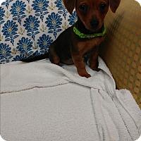 Adopt A Pet :: Lucy - Davie, FL