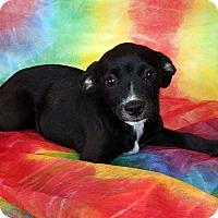 Adopt A Pet :: Laura Min Pin Dash Mix - St. Louis, MO