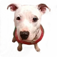 American Pit Bull Terrier Mix Dog for adoption in Des Moines, Iowa - Serenity
