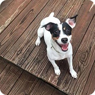 Jack Russell Terrier Mix Dog for adoption in Arlington, Virginia - Bonnie (& Baby Girl)