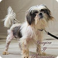 Adopt A Pet :: Stewie - Oklahoma City, OK
