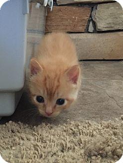 Domestic Shorthair Cat for adoption in Jacksonville, Texas - Mikko