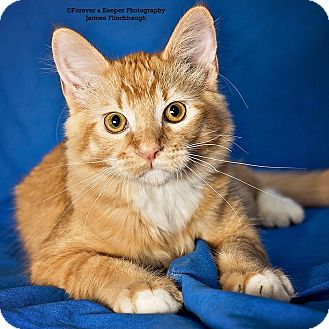 Domestic Mediumhair Kitten for adoption in Norman, Oklahoma - Timothy