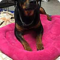 Rottweiler Dog for adoption in Wilmington, Delaware - Rosie