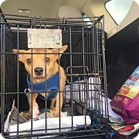 Chihuahua Mix Dog for adoption in West Palm Beach, Florida - Peanut