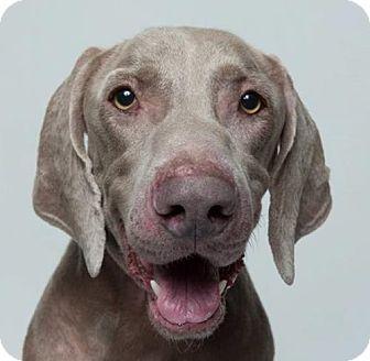 Weimaraner Dog for adoption in Birmingham, Alabama - Manning