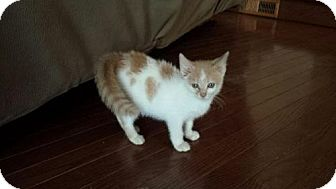 Domestic Shorthair Kitten for adoption in Morgantown, West Virginia - Peanut