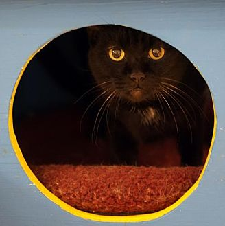 Domestic Shorthair Cat for adoption in Tucson, Arizona - Jadine