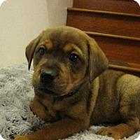 Adopt A Pet :: Baby Fozzie Bear - Rockville, MD