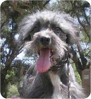 Poodle (Miniature)/Standard Schnauzer Mix Dog for adoption in Templeton, California - Gyro