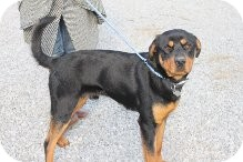 Rottweiler Dog for adoption in Russellville, Kentucky - Scottie