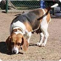 Adopt A Pet :: Becky Thatcher - Phoenix, AZ