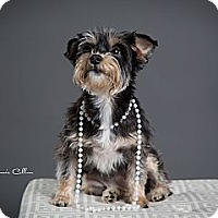 Adopt A Pet :: Cinderella the Snorkie - Birmingham, AL