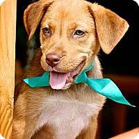 Adopt A Pet :: Amy - Albany, NY