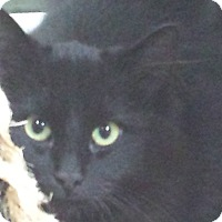 Domestic Longhair Kitten for adoption in Shelbyville, Kentucky - Spooky