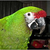 Macaw for adoption in Shawnee Mission, Kansas - Maggie