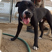 Adopt A Pet :: Maximus - Surprise, AZ
