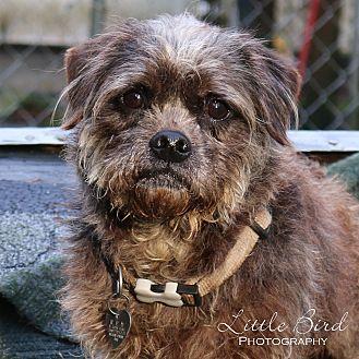 Schnauzer (Miniature)/Lhasa Apso Mix Dog for adoption in Seattle c/o Kingston 98346/ Washington State, Washington - Angelina Hope