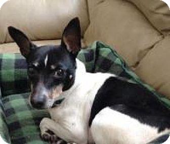 Rat Terrier Dog for adoption in House Springs, Missouri - Spock