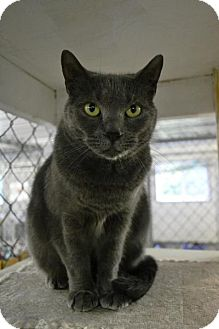 Domestic Shorthair Cat for adoption in East Smithfield, Pennsylvania - Alane