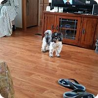 Adopt A Pet :: Suki - Cedar Rapids, IA