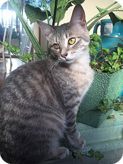 Domestic Mediumhair Kitten for adoption in Huntley, Illinois - Hazel
